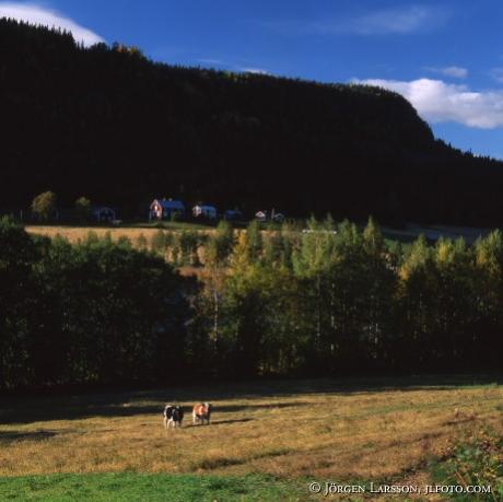 Bulls at Adal Angermanland Sweden
