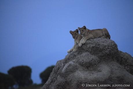 Lions cub Queen Elisabeth Nat Park UGANDA