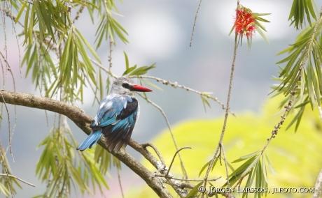 Skogskungsfiskare Halcyon senegalensis Uganda