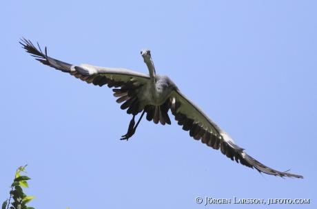 Grey Heron Ardea cinerea Uganda