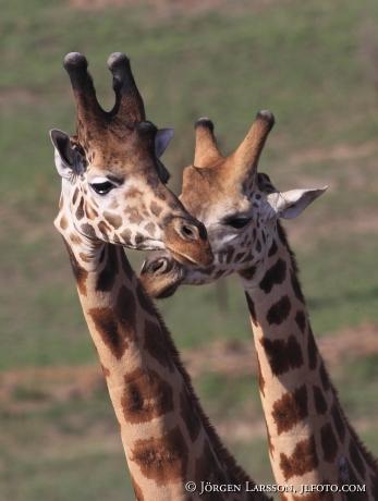 Giraffe Murchinson nat park Uganda