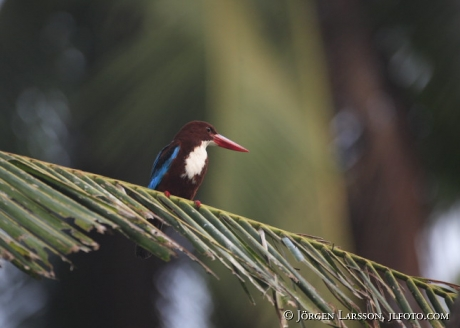 Backwater Kerala Indien Kingfisher