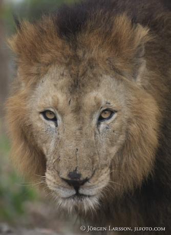 Asiatiskt lejon