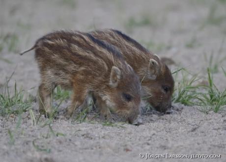 Wild boar, Sus scrofa,