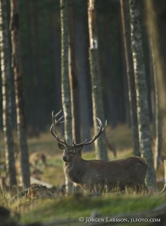 Royal, red deer, Cervus elaphus