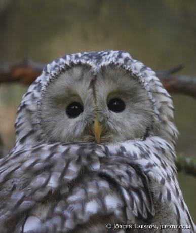 Ural Owl Strix uralensis