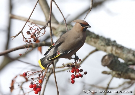 Waxwing and rowanberry