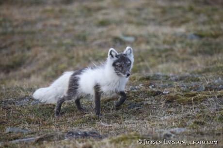 Arctic fox  Alopex lagopus