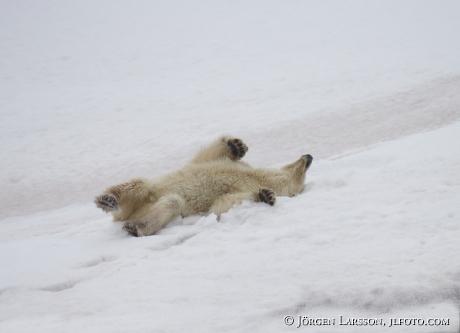 Isbjörn rullar sig i snön Svalbard