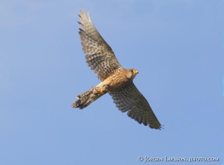Tornfalk Falco tinnunculus