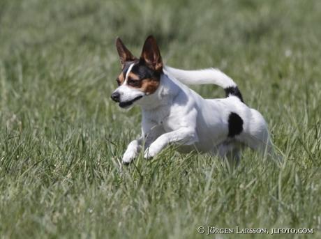 Playing dog mixed rase