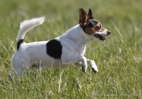 Lekande hund blandras