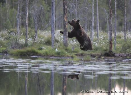 Brunbjörn (Ursus arctos)  Kuhmo Finland
