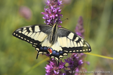 Swallowtail  Papilio machaon  Smaland Sweden