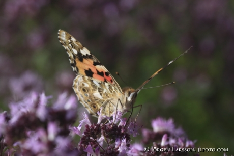 Painted lady Cynthia cardui Smaland Sweden
