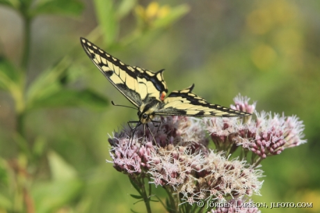 Swallowtail  Papilio machaon  Smaland Sweden