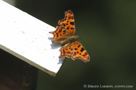 Vinbärsfuks  Östergötland