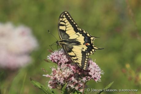 Makaon fjäril Papilio machaon  Småland Sverige