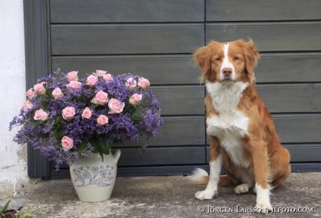 Arrangerade blommor med Hund   Tollare