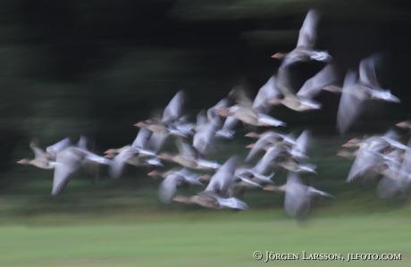 Bean Goose Sweden