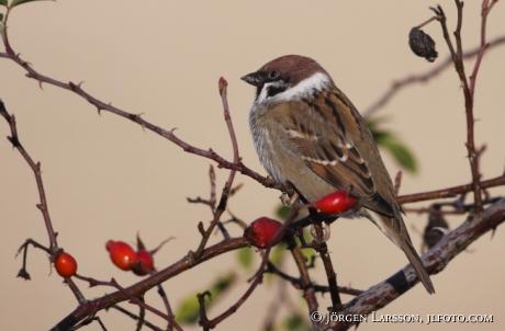 Tree Sparrow Passer montanus