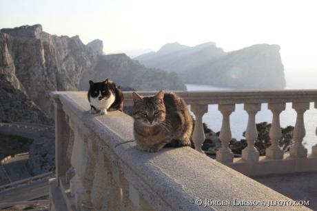 Katter vid Cap de Formentor Mallorca Spanien