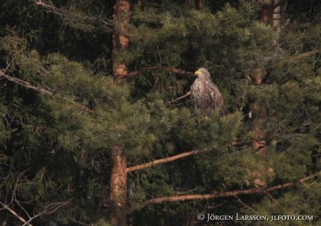 Havsörn Haliaeetus albicilla Björnlunda Södermanland