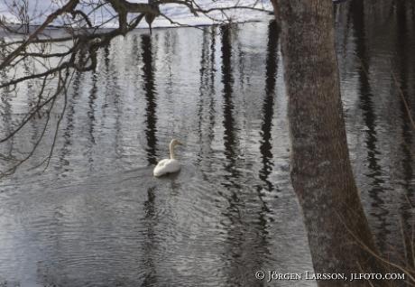 whooper swan Trosa Sweden