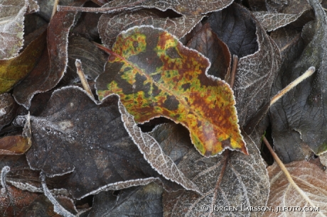 Frost löv Botkyrka