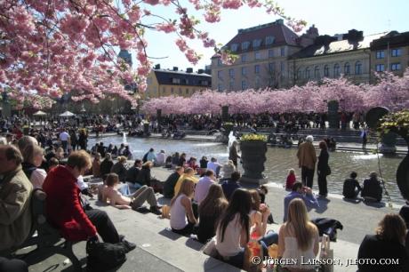 cherry tree Kungsträdgården Stockholm
