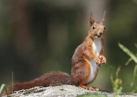 squirrel  sweden