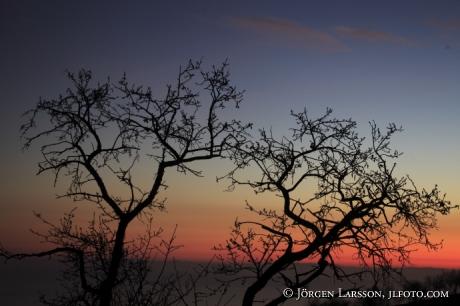 Mandelträd mot kvällshimmel Spanien