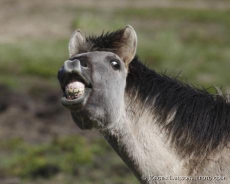 Konik wildhorse Latvia