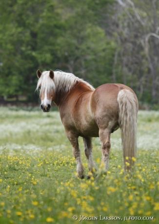 Ardennes horse Gnesta Sweden