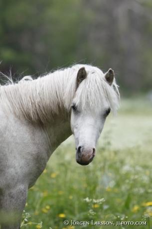 Welsh mountain horse