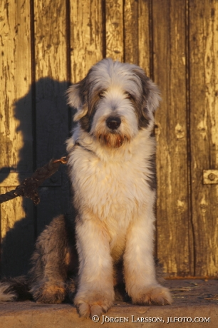 Old English Sheepdog  Grödinge Sverige