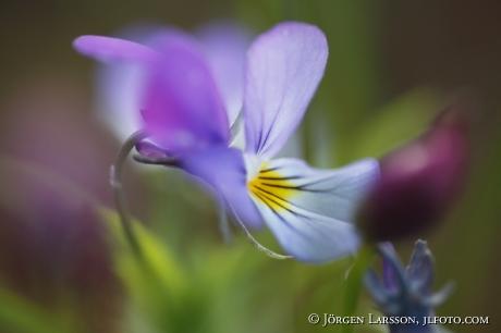 Heartsease Viola tricolor)