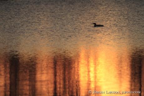 Arctic loon Varmland Sweden