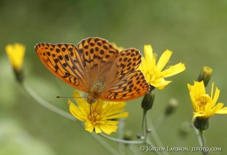 Butterfly fritillary