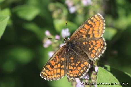 Butterfly  Mellicta athalia