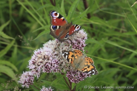 Peacoc eye Butterfly  and Painted lady Smaland Sweden