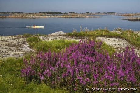 Purple loosestrife Smaland Sweden Canoeing