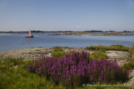 Purple loosestrife Smaland Sweden Sailingboat