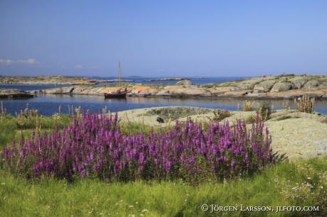 Purple loosestrife Smaland Sweden boat