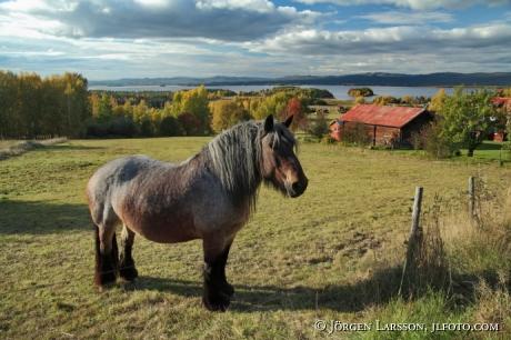 Horse at Orsa Dalarna Sweden