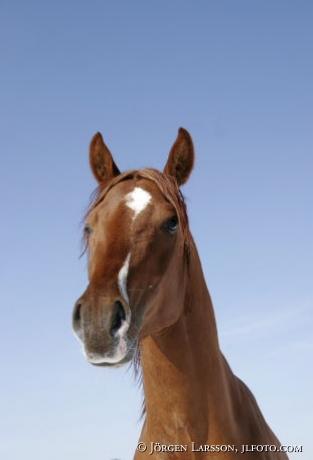 arab ponie