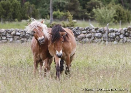 Gotland pony    Gotland Sweden