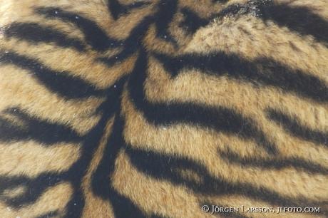 Siberian tiger / Amurtiger   Panthera tigris altacia