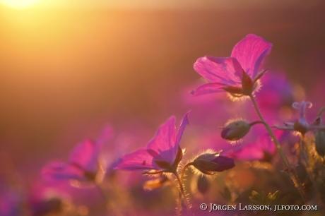 Flowers in eveningsun Gotland