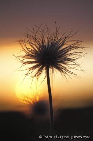 Pasque flower in sunset Gotland Sweden